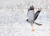 "<div class=""jaDesc""> <h4> Male Northern Harrier Take-off - February 22, 2016</h4> <p>This male Northern Harrier had just finished a meal in a snowy field.  Amherst Island, Ontario</p> </div>"