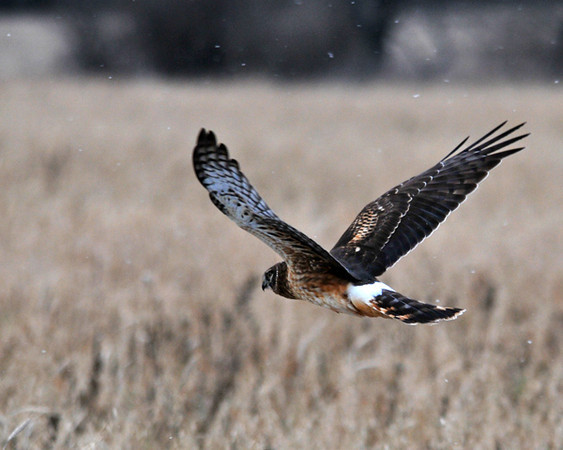 "<div class=""jaDesc""> <h4>Female Northern Harrier Slowing Her Glide- December 26, 2010 </h4> <p>  To slow her speed over the field, the female Harrier would raise her wings to reduce the lift much like a Turkey Buzzard does.</p> </div>"
