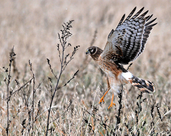 """<div class=""""jaDesc""""> <h4>Female Northern Harrier Landing - December 26, 2010 </h4> <p>  Periodically this female Northern Harrier would land in the grass and look around for a few minutes. I never saw her catch anything though. I think that must be her techniques to get a rodent to move.</p> </div>"""