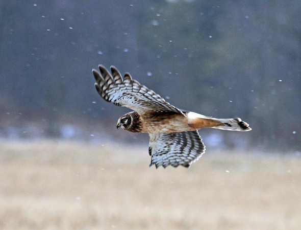 "<div class=""jaDesc""> <h4>Female Northern Harrier Gliding Over Field - December 26, 2010 </h4> <p>  This female Harrier was taking advantage of the prevailing breeze to Glide over the field - listening and looking for prey.</p> </div>"