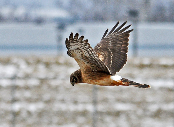 """<div class=""""jaDesc""""> <h4> Female Harrier Hawk Hovering Over Prey - December 26, 2010 </h4> <p>  This female Harrier will hover at 30 feet over a spot in a field where there might be a mouse, ready to pounce if she she first hears and then sees movement.</p> </div>"""