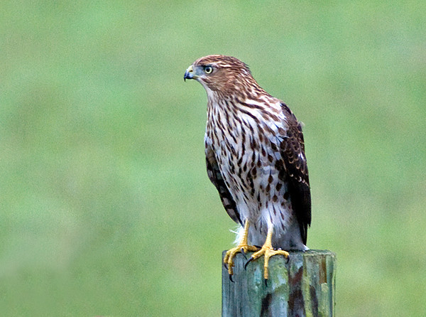 "<div class=""jaDesc""> <h4> Juvenile Coopers Hawk - September 2009</h4> <p> This juvenile Coopers Hawk was passing through one of our horse pastures.  He stopped briefly on one of the fence posts and was eyeing some Song Sparrows perched on a shrub.</p> </div>"