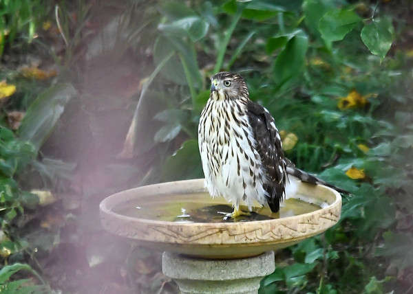 "<div class=""jaDesc""> <h4>Coopers Hawk Standing in Bird Bath - September 09, 2016</h4> <p> This Coopers Hawk landed in a wooded backyard bird bath.  She was looking for an afternoon meal.  Notice that she is standing on one leg and bracing with her tail.  I was shooting between the rails on a back porch.</p> </div>"