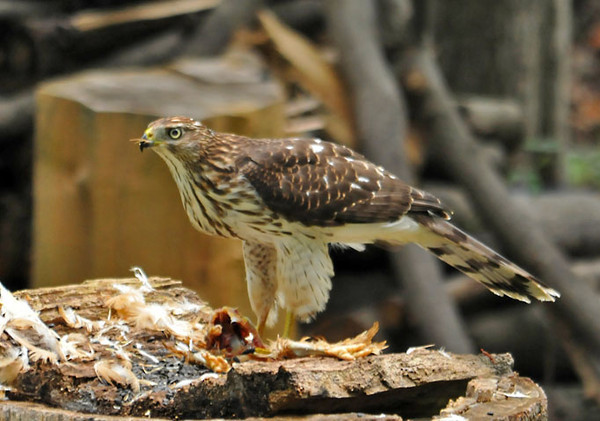 "<div class=""jaDesc""> <h4> Young Coopers Hawk Finishing a Meal - September 15, 2011</h4> <p> This young Coopers Hawk caught a chicken at the nearby farm and landed on a stump in my relative's secluded backyard to finish eating it.</p> </div>"