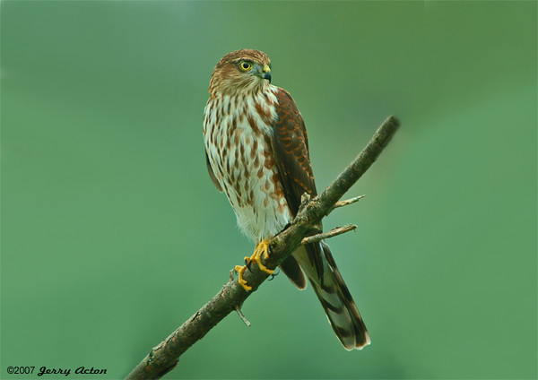 """<div class=""""jaDesc""""> <h4> Juvenile Coopers Hawk - September 2005</h4> <p> This juvenile Coopers Hawk landed on a perch in our backyard hoping to get an easy song bird meal at the feeder area.  The song birds all scrambled as he arrived.</p> </div>"""