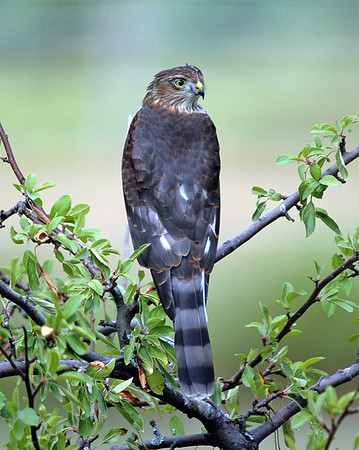 "<div class=""jaDesc""> <h4> Coopers Hawk Scanning Our Yard - September 2, 2008</h4> <p> This Coopers Hawk perched in one of our crabapple trees for about 10 minutes.  He was scanning a full 360 degrees, moving his head slowly side to side.</p> </div>"