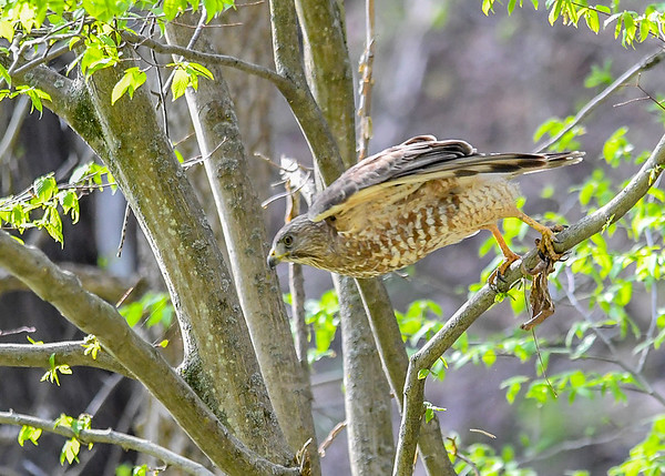 "<div class=""jaDesc""> <h4> Red-shouldered Hawk Launching - April 30, 2017</h4> <p>He leaned forward after a few minutes and pushed off downward to get quick forward speed.</p> </div>"