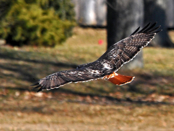 "<div class=""jaDesc""> <h4> Red-tailed Hawk Gliding Through Side Yard - February 20,  2009  </h4> <p> I saw a Red-tailed Hawk in a grassy ditch by the side of the road as I was driving south along Cayuga Lake, NY.  When I stopped my truck, he flew off and glided through the side yard of a home with the afternoon sun lighting up his beautiful red tail. </p> </div>"