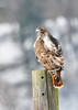 "<div class=""jaDesc""> <h4>Immature Red-tailed Hawk on Fence Post - February 8, 2014 </h4> <p> This immature Red-tailed Hawk was perched on a fence post in the middle of a large grassy field, a good location for hunting rodents.</p> </div>"