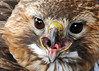 "<div class=""jaDesc""> <h4>Male Red-tailed Hawk - Scram - March 23, 2014 </h4> <p> This is MY snack ! </p> </div>"