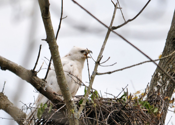 "<div class=""jaDesc""> <h4>Leucistic Red-tailed Hawk Calling to Mate - May 18, 2016 </h4> <p>As her mate flew overhead, she called loudly to him, possibly telling him she is hungry.  He has standard Red-tailed Hawk coloring.</p> </div>"