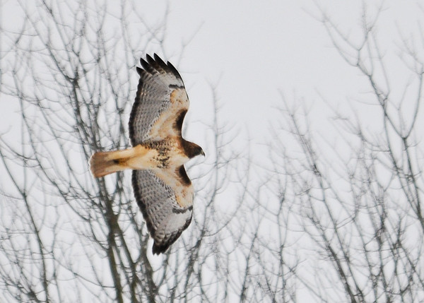 """<div class=""""jaDesc""""> <h4>Adult Red-tailed Hawk In-flight - January 1, 2013 </h4> <p> We saw this adult Red-tailed Hawk moving from one tree to another during our Christmas Bird Count outing.  Photo taken in Lounsberry, NY. </p> </div>"""