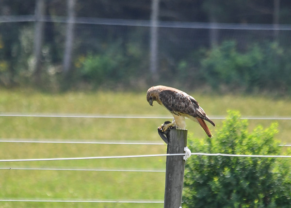 """<div class=""""jaDesc""""> <h4>Red-tailed Hawk Catches Blackbird - August 13, 2016 </h4> <p>I have seen Red-tailed Hawks catch rodents and snakes, but this is the first time I have seen one grab a bird.</p> </div>"""