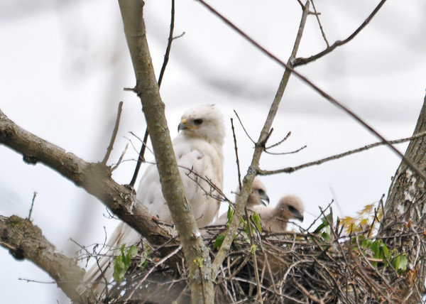 """<div class=""""jaDesc""""> <h4>Two Red-tailed Hawk Chicks Active in Nest - May 18, 2016 </h4> <p>The two chicks were sleeping most of the time, but moved around the nest 3 times during a one hour period.</p> </div>"""