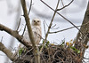"<div class=""jaDesc""> <h4>Leucistic Red-tailed Hawk on Nest - May 18, 2016 </h4> <p>This female leucistic Red-tailed Hawk is sitting on a nest along the Susquehanna  River in Tioga County NY.</p> </div>"