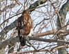 "<div class=""jaDesc""> <h4> Immature Red-tailed Hawk in Large Tree  - January 31, 2012  </h4> <p> This immature Red-tailed Hawk swooped down in front of my truck window.  He then flew down the road in front of me for about 50 yards before pulling up and perching on a large tree limb that stretched out over the road.  Taken on Amherst Island, Ontario.</p> </div>"
