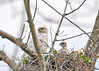 "<div class=""jaDesc""> <h4>Red-tailed Hawk Chick Looking with Mom - May 18, 2016 </h4> <p>It was neat to see one of the chicks looking in the same direction as the mom.  This nest is about 75 feet up in a tree with a great view of the surrounding area.</p> </div>"