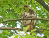 "<div class=""jaDesc""> <h4> Female Red-tailed Hawk on High Perch - July 21,  2009  </h4> <p> Here is the female Red-tailed Hawk perched high up in a large tree surveying pasture mowing progress.  She made several swoops down into the mowed grass to catch rodents.</p> </div>"