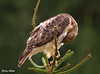 "<div class=""jaDesc""> <h4> Female Red-tailed Hawk Grooming - August 27,  2009  </h4> <p> Between scans of the hay field, this Red-Tailed Hawk was grooming her breast feathers.  At one point when she shook, small feathers and dust went flying out all around her.  I think she needs a good bath.</p> </div>"
