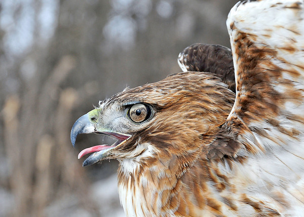 """<div class=""""jaDesc""""> <h4>Red-tailed Hawk - Very Close - February 23, 2014 </h4> <p> With some assistance using an attractive snack. </p> </div>"""