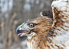 "<div class=""jaDesc""> <h4>Red-tailed Hawk - Very Close - February 23, 2014 </h4> <p> With some assistance using an attractive snack. </p> </div>"