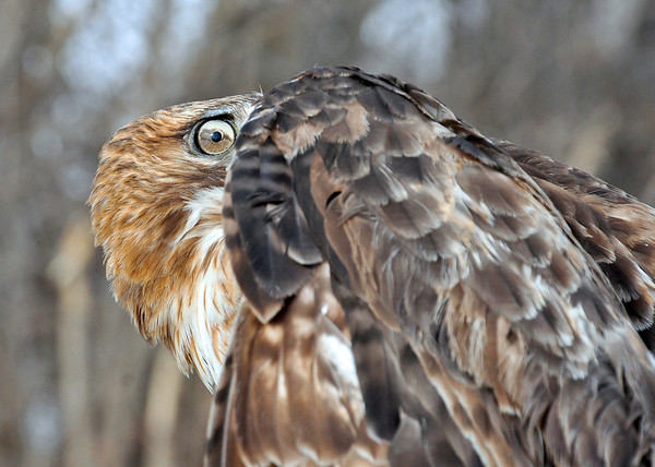 "<div class=""jaDesc""> <h4>Red-tailed Hawk - Bashful Pose - February 23, 2014 </h4> <p> I liked this head tuck pose and that eye. </p> </div>"