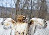"<div class=""jaDesc""> <h4>Red-tailed Hawk - Wings Spread - February 23, 2014 </h4> <p> </p> </div>"