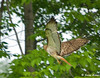 "<div class=""jaDesc""> <h4> Female Red-tailed Hawk Flying to Perch - July 21,  2009  </h4> <p> A neighbor invited me over to his horse pasture while he mowed the field.  A female Red-tailed Hawk was flying from perch to perch along the field looking to catch an easy meal.</p> </div>"