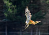 """<div class=""""jaDesc""""> <h4>Red-tailed Hawk Takes Off with Bird - August 13, 2016 </h4> <p>The Red-tailed Hawk did not like me photographing his meal, so he took off to eat it somewhere else.</p> </div>"""