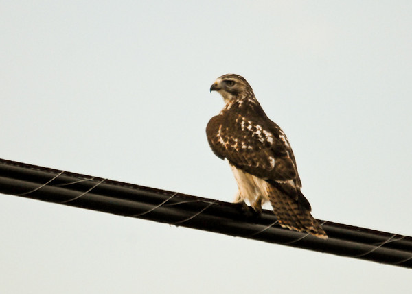 "<div class=""jaDesc""> <h4> Immature Red-tailed Hawk on Utility Wires - November 15, 2012 </h4> <p> The tail feathers on an immature Red-tailed Hawk are barred and not yet red.  When I first took this photo, I was unsure what type of hawk this was.</p> </div>"
