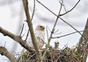 """<div class=""""jaDesc""""> <h4>Red-tailed Hawk Chick Looking My Way - May 18, 2016 </h4> <p>This chick popped its head up as it looked in my direction.  Mom never moved from the same position during the hour I was there.</p> </div>"""