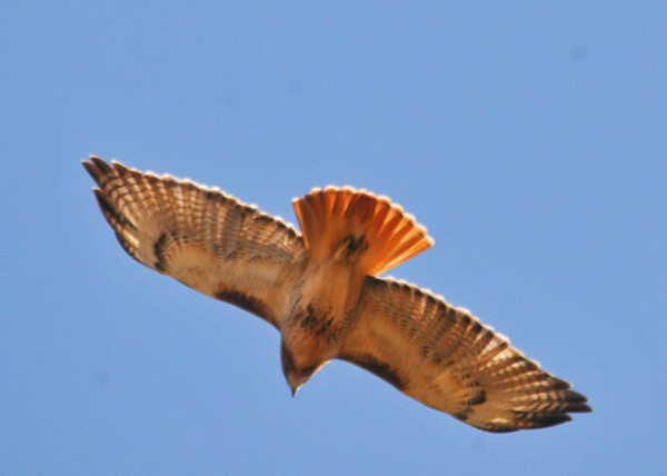 "<div class=""jaDesc""> <h4>Red-tailed Hawk Fly-over - November 6, 2013 </h4> <p> This Red-tailed Hawk's colors were highlighted by the bright sun as it flew over me. </p> </div>"