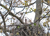 "<div class=""jaDesc""> <h4>Red-tailed Hawk Chick Yawning - May 18, 2016 </h4> <p>It looks like this chick is calling like mom did, but actually it is just yawning.</p> </div>"