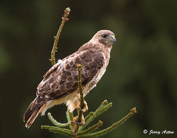 "<div class=""jaDesc""> <h4> Female Red-tailed Hawk Scanning Hay Field - August 27,  2009  </h4> <p> I saw this Red-tailed Hawk in a tree by the road as I was driving home yesterday afternoon. When I went back with my camera she was still there alternating between grooming and scanning the hay field for movement by a rodent or snake.</p> </div>"