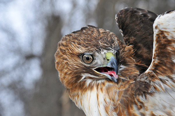 "<div class=""jaDesc""> <h4>Red-tailed Hawk - Head Turned - February 23, 2014 </h4> <p> </p> </div>"