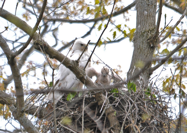 "<div class=""jaDesc""> <h4>Red-tailed Hawk Chick Stretching Wings - May 18, 2016 </h4> <p>This chick was the most active.  It stretched its wings several times.</p> </div>"