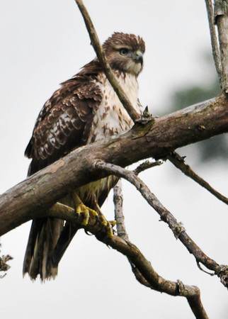 "<div class=""jaDesc""> <h4> Immature Red-tailed Hawk in Dead Tree - September 4, 2012 </h4> <p> This immature Red-tailed Hawk was perched in a dead tree beside a winding country road in Lancaster County, PA.  He was looking out over a small stream that carved its way through an un-mowed field.</p> </div>"