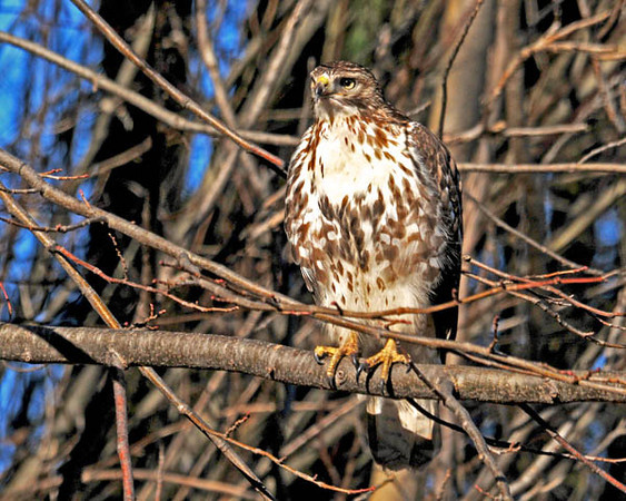 """<div class=""""jaDesc""""> <h4> Immature Red-tailed Hawk - January 3, 2011  </h4> <p>  While I was driving south along the west side of Cayuga lake, this immature Red-tailed Hawk flew out of the woods and down the road in front of me for about 100 yards. He landed on a branch in a tree right above the road shoulder. He let me watch and photograph him for several minutes.</p> </div>"""