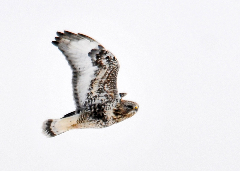 "<div class=""jaDesc""> <h4>Rough-legged Hawk - Light Morph - February 8, 2014 </h4> <p> This light morph Rough-legged Hawk was flying over a large hay field with a second Rough-legged Hawk.</p> </div>"