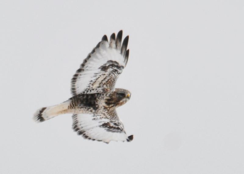 "<div class=""jaDesc""> <h4>Light Morph Rough-legged Hawk - Fly By - February 8, 2014 </h4> <p> This light morph Rough-legged Hawk was in a turn as she flew by me.</p> </div>"