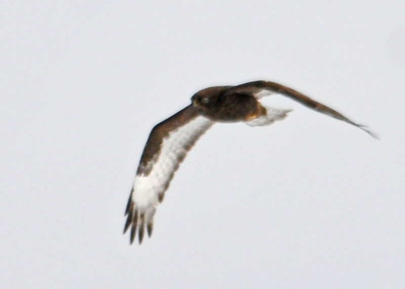 "<div class=""jaDesc""> <h4>Dark Morph Rough-legged Hawk Soaring - February 8, 2014 </h4> <p> This dark morph Rough-legged Hawk was soaring along with the light morph over the same large hay field.</p> </div>"