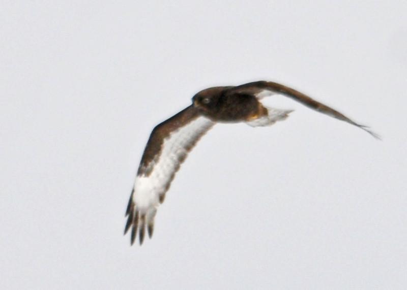 "<div class=""jaDesc""> <h4>Dark Morph Rough-legged Hawk Soaring - February 8, 2014 </h4> <p> This dark morph Rough-legged Hawk was soaring along with the light morph over the same large hay field.</p> </div>"