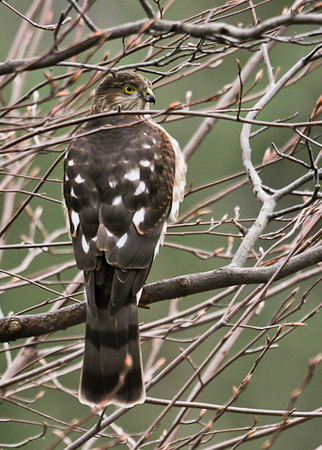 "<div class=""jaDesc""> <h4> Juvenile Sharp-shinned Hawk Back View - October 26, 2012</h4> <p>She thinks she is hiding, but all the other birds know exactly where she is.  Song birds are tucked into the dense holly bushes along the house. </p> </div>"