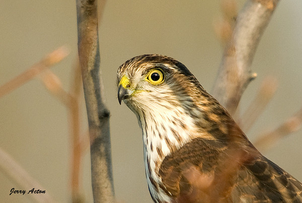"<div class=""jaDesc""> <h4> Juvenile Sharp-shinned Hawk Close-up - November 1, 2008</h4> <p> Looking around to see where the Blue Jays had moved to next.</p> </div>"