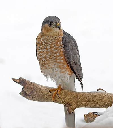 """<div class=""""jaDesc""""> <h4> Sharp-shinned Hawk Posing Nicely- February 22, 2008</h4> <p> After making a run at our feeder area, this male Sharp-shinned Hawk perched in our front yard. He scanned the area for about 5 minutes, scratched his ear several times, and alternated standing on one foot in the cold weather. The male Sharp-shinned is significantly smaller than the female that we have seen before.</p> </div>"""