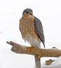 "<div class=""jaDesc""> <h4> Sharp-shinned Hawk Posing Nicely- February 22, 2008</h4> <p> After making a run at our feeder area, this male Sharp-shinned Hawk perched in our front yard. He scanned the area for about 5 minutes, scratched his ear several times, and alternated standing on one foot in the cold weather.  The male Sharp-shinned is significantly smaller than the female that we have seen before.</p> </div>"