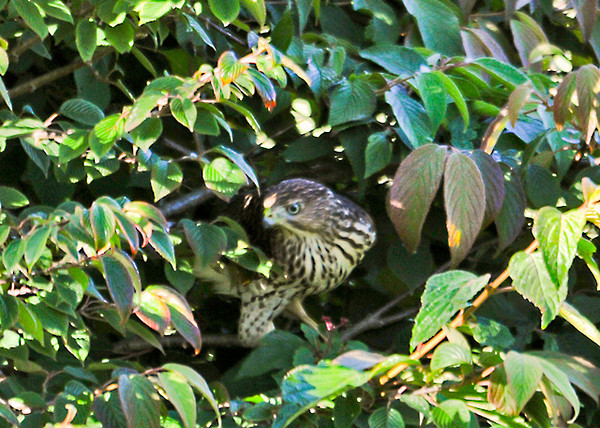 "<div class=""jaDesc""> <h4>Juvenile Sharp-shinned Hawk Hunting in Bush - September 6, 2013</h4> <p>He flew into a viburnum bush trying to catch a Junco or Sparrow, but they were one step ahead of him.</p> </div>"