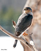 "<div class=""jaDesc""> <h4> Sharp-shinned Hawk on Backyard Perch - February 21, 2010</h4> <p> Gee, I wonder where all those song birds went ???</p> </div>"