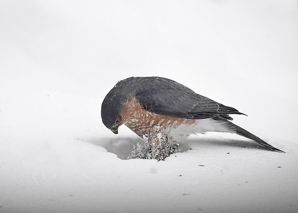 "<div class=""jaDesc""> <h4>Sharp-shinned Hawk Looking at Catch - March 15, 2017</h4> <p>She alternated stepping on it with her claws.</p> </div>"