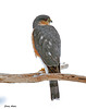 "<div class=""jaDesc""> <h4> Sharp-shinned Hawk Back View - February 10, 2010</h4> <p> This Sharp-shinned Hawk visited 3 times. On this visit, she had her back to me, but she was looking all around.</p> </div>"